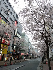 ミナトの近くの桜並木